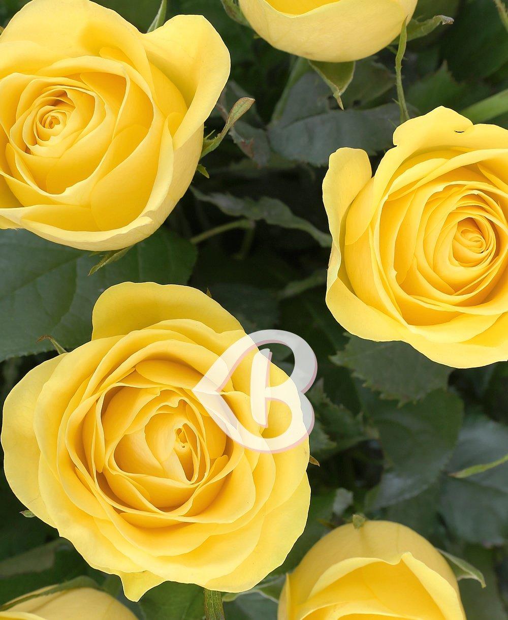Imaginea produsului 35 Trandafiri Galbeni