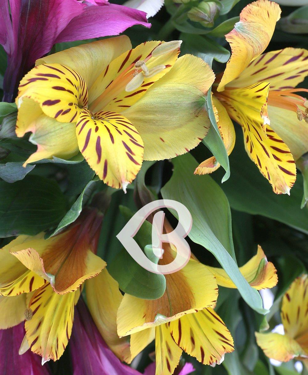 Imaginea produsului alstroemeria multicoloră